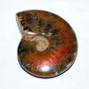 Ammolite & Ammonite